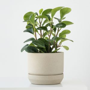 Pepper face plant in a small white pot